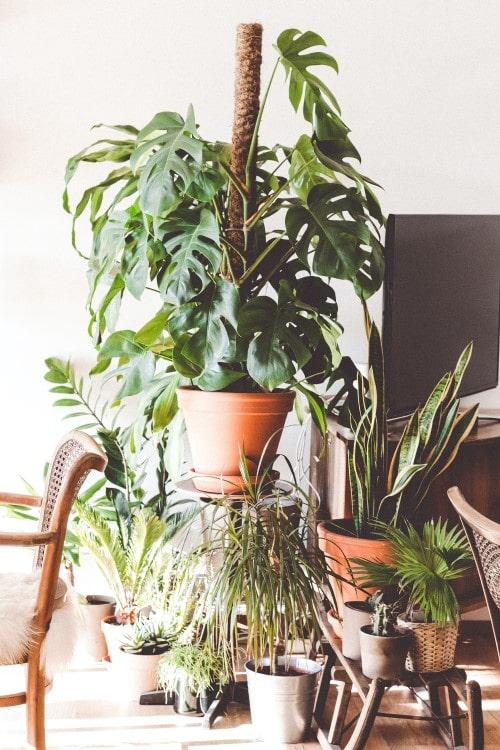 grote kamerplant monstera gatenplant
