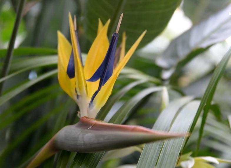 grote kamerplant strelitzia paradijsvogelplant bloem