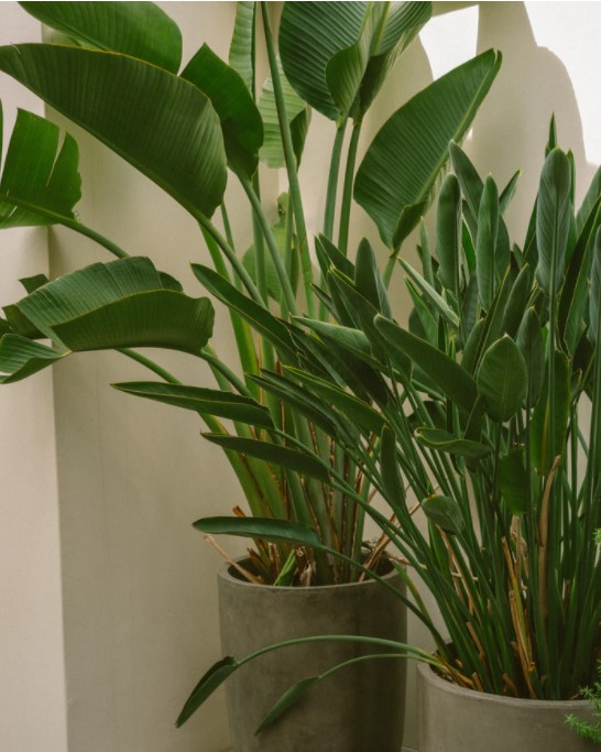 grote kamerplant strelitzia paradijsvogelplant