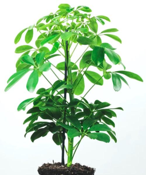 grote kamerplant vingerplant schefflera