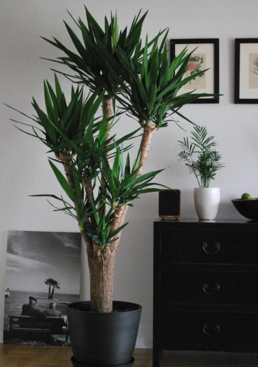 grote kamerplant yucca